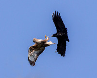 Common Buzzard mobbed by Crow, Worcestershire