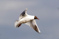 Black Headed Gull, Worcestershire