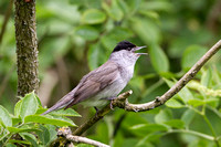 Blackcap,  Knapp and Papermill NR, Worcestershire