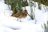 Common Snipe, Worcestershire
