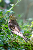 Song Thrush, Worcestershire