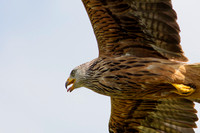 Red Kite, Gigrin Farm, Powys