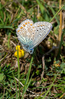 Common Blue, Lardon Chase, Berkshire