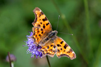 Comma, Trench Wood, Worcestershire