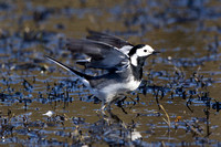 Pied Wagtail, Forest of Dean