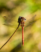 Common Darter, Knapp and Papermill, Worcestershire