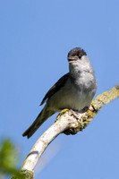 Blackcap, Somerset