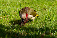 Green Woodpecker, Worcestershire