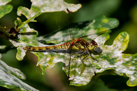 Common Darter, Trench Wood, Worcestershire