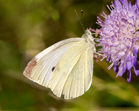 Small White, Worcestershire