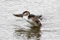 Great Crested Grebe, Worcestershire
