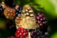 Speckled Wood, Worcestershire
