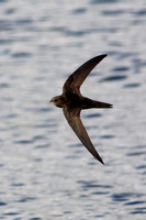 Common Swift, Grimley, Worcestershire