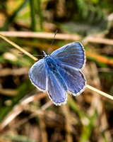 Common Blue, Prestbury Hill, Gloucestershire