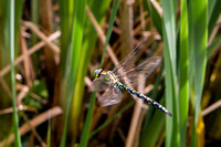 Southern Hawker, Worcestershire