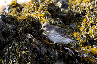 Purple Sandpiper, Somerset