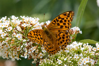 Silver-washed Fritillary, Worcestershire