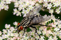 Tachinid Fly (Dexiosoma caninum) Monkwood Leicestershire