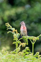 Linnet, Bromyard Downs, Herefordshire