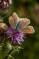 Common Blue, Knapp and Papermill, Worcestershire