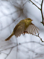 Willow Warbler, Forest of Dean