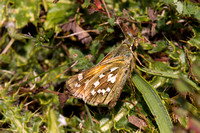 Silver Spotted Skipper, Aston Rowant, Oxfordshire
