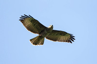 Common Buzzard, Worcestershire