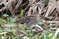 Common Snipe,  Upton Warren NR,  Worcestershire