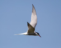 Common Tern, Grimley, Worcestershire