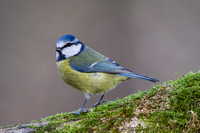 Blue Tit, Forest of Dean, Gloucestershire