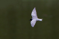 Black Tern,  Upton Warren NR, Worcestershire