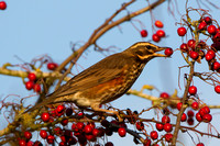 Redwing, Worcestershire