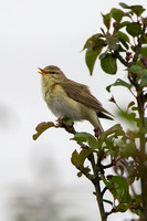 Willow Warbler, Cleeve Common. Gloucestershire