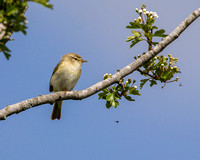 Willow Warbler, Malverns, Worcestershire