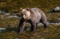 Grizzly Bear, Knight Inlet BC
