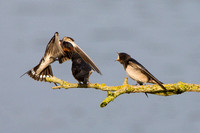 Barn Swallows, Upton Warren NR, Worcestershire