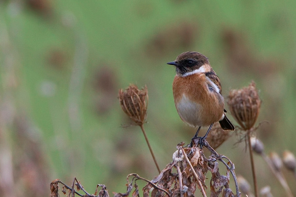 Stonechat, Pittville Park, Gloucestershire