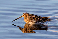 Common Snipe,  Warwickshire