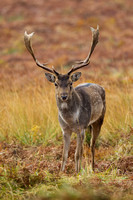 Fallow Deer, Bradgate Park, Leicestershire