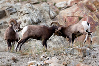 Big Horn Sheep and Goats