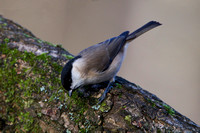 Marsh Tit, Forest of Dean, Gloucestershire