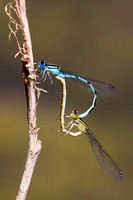 Common Blue Damselfly, Grimley, Worcestershire