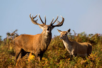 Red Deer, Bradgate Park, Leicestershire