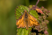Large Skipper, Knapp and Papermill, Worcestershire