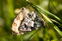 Marbled White, Prestbury Hill, Gloucestershire