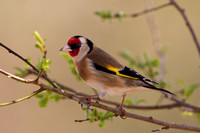 Goldfinch, Gloucestershire